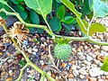 Datura innoxia 03 green fruit.jpg