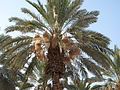 Dead Sea, date palm fruit protection.JPG