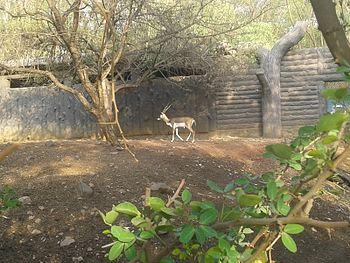 Deer(Blackbuck).jpg