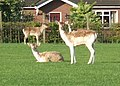 Deer in field at Blindmans Lane-Asmall Lane Junction - geograph.org.uk - 637313.jpg