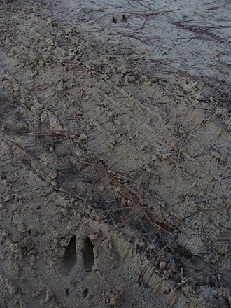 Tracking (hunting) - A walking deer track located in the Apalachicola National Forest in northern Florida