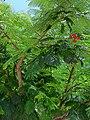 Delonix regia (Fabaceae) - Urban area in Mexico.jpg