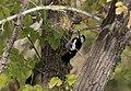 Dendrocopos syriacus - Syrian Woodpecker, Adana 2017-12-10 05-3.jpg