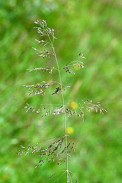 Deschampsia.flexuosa.jpg