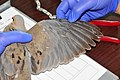 Determining Molt Sequence of Mourning Dove (19289987348).jpg