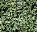 Deuterocohnia brevifolia 03 ies.jpg
