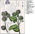 Deutschlands Flora in Abbldungen DESC.jpg