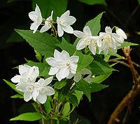 Deutzia gracilis A