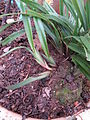 Dianella ensifolia Mada04.jpg