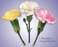 Dianthus caryophyllus flowers.png