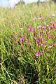 Dianthus deltoides 07.JPG