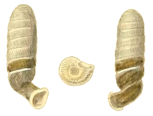 Diaphera cumingiana shell.png