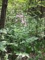 Dictamnus albus sl16.jpg