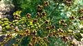 Die Weinraute, lat. Ruta graveolens, Samen.jpg