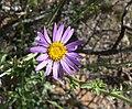 Dieteria canescens var canescens 8.jpg