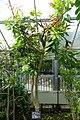 Dimocarpus longan (Euphoria longana) - Gora Park - Hakone, Kanagawa, Japan - DSC08543.jpg