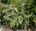 Diospyros dichrophylla 1 ies.jpg