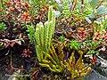 Diphasiastrum alpinum strobili (15).jpg