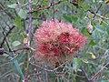 Diplolepis rosae (28922799354).jpg
