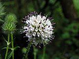 Dipsacus pilosus flowerhead