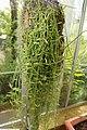 Dischidia rafflesiana 4zz.jpg