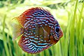 Discus aquarium tropical porte dorée - 005.JPG