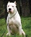 Dogo argentino 5.jpg