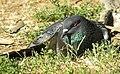 Domestic Pigeon (Columba livia f. domestica).jpg