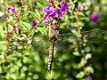 Dragonfly (15557528782).jpg