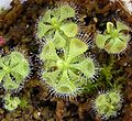 Drosera sessilifolia-1-by AL.jpg