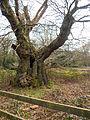 Druid's Oak (6958371244).jpg