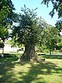 Drzewko - panoramio (1).jpg