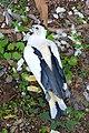 Ducula spilorrhoa (Torresian pigeon).jpg