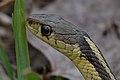 Eastern Garter Snake (Thamnophis sirtalis sirtalis) - London, Ontario 2015-04-19 (01).jpg