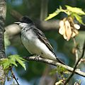 Eastern Kingbird (4593656860).jpg