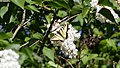 Eastern Tiger Swallowtail (Papilio glaucus) (35614954585).jpg