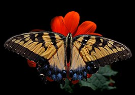 Eastern Tiger Swallowtail Papilio glaucus Female 2838px.jpg