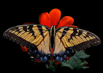 Eastern Tiger Swallowtail Papilio glaucus Fema...