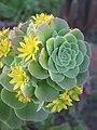 Echeveria species at Ooty (6).jpg