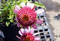 Echinacea purpurea Razzmatazz 0zz.jpg
