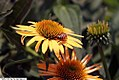 Echinacea x Harvest Moon 1zz.jpg