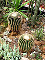 Echinocactus grusonii (two plants) 01.JPG
