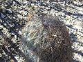 Echinomastus unguispinus (5729459663).jpg