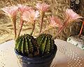 Echinopsis oxygona - 2012 - sept fleurs - 5.jpg