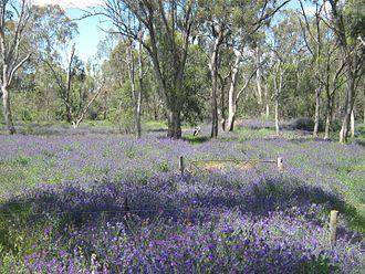 Echium plantagineum in Australia - A field of Echium plantagineum near Shepparton, Victoria