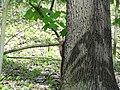 Eichhörnchen - panoramio (2).jpg