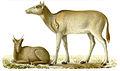 Elaphurus-davidianus.jpg