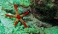 Elegant Necklace Starfish (Fromia monilis) (8488880713).jpg