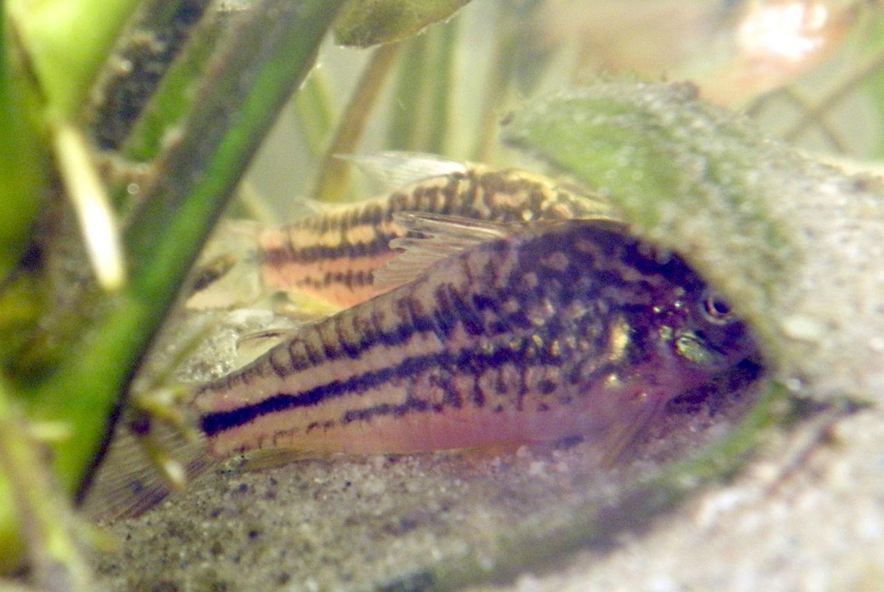 Elegant Corydoras : File:Elegant corydoras (Corydoras elegans).JPG - Wikimedia Commons