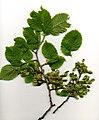 Elm Foliage.jpg